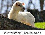 lost lamb  katahdin breed ...