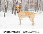 Labrador Dog In The Snow...