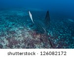 A Spotted Eagle Ray  Aetobatus...