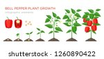 sweet pepper plant growth... | Shutterstock .eps vector #1260890422