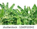 banana tree leaf in farm garden ... | Shutterstock . vector #1260910342