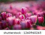 Tulip Field. Beautiful Tulip...