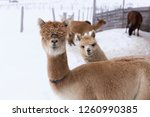 Medium horizontal shot of funny tan alpaca with heavy mullet standing in snow-covered fenced field with other animal peeking curiously behind it in front of other animals, Pont-Rouge, Quebec, Canada