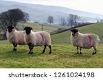 Close Up Flock Of Rough Fell...