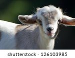Stock photo close up of a cute baby goat 126103985