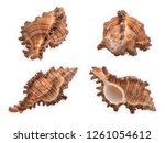 Small photo of Seashell: Murex Firebrand. High definition focus stacked macro photograph of shell on isolated on white background. Scientific Name: Chicoreus Torrefactus Common name : Murex or rock snail.