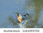 The Moment The Kingfisher...
