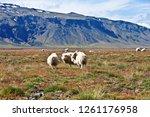 sheeps in the beautiful...   Shutterstock . vector #1261176958