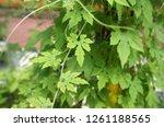 herb plant bitter gourd  or... | Shutterstock . vector #1261188565