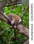 exemplary of coat   nasua... | Shutterstock . vector #1261504492