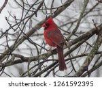 cardinal in winter. male...   Shutterstock . vector #1261592395