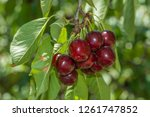 a bunch of cherries ready to... | Shutterstock . vector #1261747852