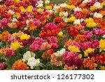 Double Tulips Flowerbeds