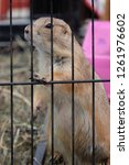 prairie dog in a steel cage. | Shutterstock . vector #1261976602