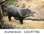 collared peccary known as wild... | Shutterstock . vector #126197786