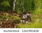 Small photo of Reindeer (Rangifer tarandus) in tundra in Dovrefjell national park, Noway, mammal with big antlers in forest, green vegetation and trees in background, wildlife scene