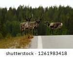 Small photo of Two reindeer males and female (Rangifer tarandus) in tundra in Dovrefjell national park, Noway, mammal with big antlers on road, green vegetation and trees in background, wildlife scene