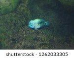 blue cichlasoma regani  vieja...   Shutterstock . vector #1262033305