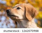 hovawart in the sun  1  | Shutterstock . vector #1262070988
