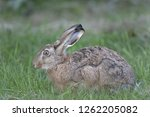 Stock photo european hare brown hare lepus europaeus 1262205082