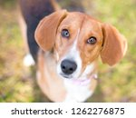 a hound mixed breed dog looking ... | Shutterstock . vector #1262276875