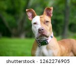 a red and white pit bull... | Shutterstock . vector #1262276905
