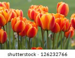 Orange Red Tulips In The Sprin...
