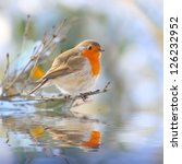 The European Robin  Erithacus...