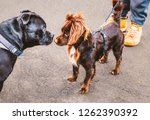 a large black staffordshire... | Shutterstock . vector #1262390392