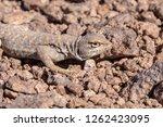 andina lizard  liolaemus andina ... | Shutterstock . vector #1262423095
