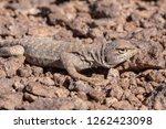 andina lizard  liolaemus andina ... | Shutterstock . vector #1262423098