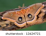 A polyphemus moth is sitting on a decaying tree limb.