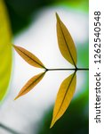 mahogany leaves with blurry... | Shutterstock . vector #1262540548