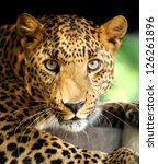 Leopard portrait on dark...