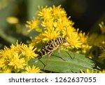 A Locust Borer Beetle ...