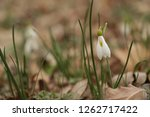 snowdrops  galanthuses  in... | Shutterstock . vector #1262717422