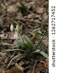 snowdrops  galanthuses  in... | Shutterstock . vector #1262717452