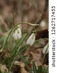snowdrops  galanthuses  in... | Shutterstock . vector #1262717455