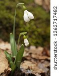 snowdrops  galanthuses  in... | Shutterstock . vector #1262717482