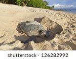 Green Turtle  Chelonia Mydas ...