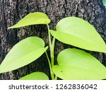 australian native monstera ... | Shutterstock . vector #1262836042