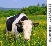 cow on a summer pasture | Shutterstock . vector #1262933938