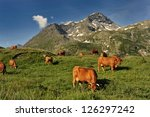 Cows In Mountain In The Summer...