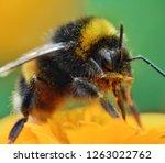 Bumblebee On Orange Marigold...