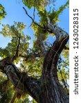 mahogany hammock trail  a... | Shutterstock . vector #1263028315