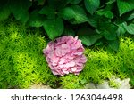 beautiful blue hydrangea or... | Shutterstock . vector #1263046498