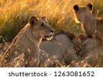 lion in the morning light ... | Shutterstock . vector #1263081652
