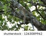 leopard on a tree  masai mara | Shutterstock . vector #1263089962