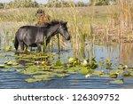 horse grazing waterlilies... | Shutterstock . vector #126309752