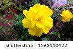cosmos sulphureus is also known ... | Shutterstock . vector #1263110422